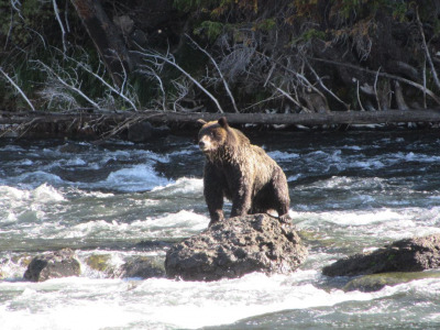 Grizzly fishing in the Yellowstone River