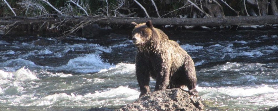 A grizzly eyes trout in the Yellowstone River