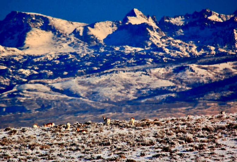 "Pronghorn, which Lewis and Clark called ""speed goats,"" under the shadow of Wyoming's Wind River Range. Photo by Joel Berger, CC BY-ND"