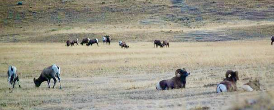"""Mountain"" sheep on the grasslands"