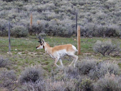 A pronghorn navigating a maze of fences
