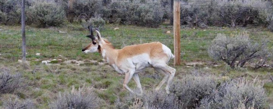 A pronghorn runs a barbed-wire gauntlet