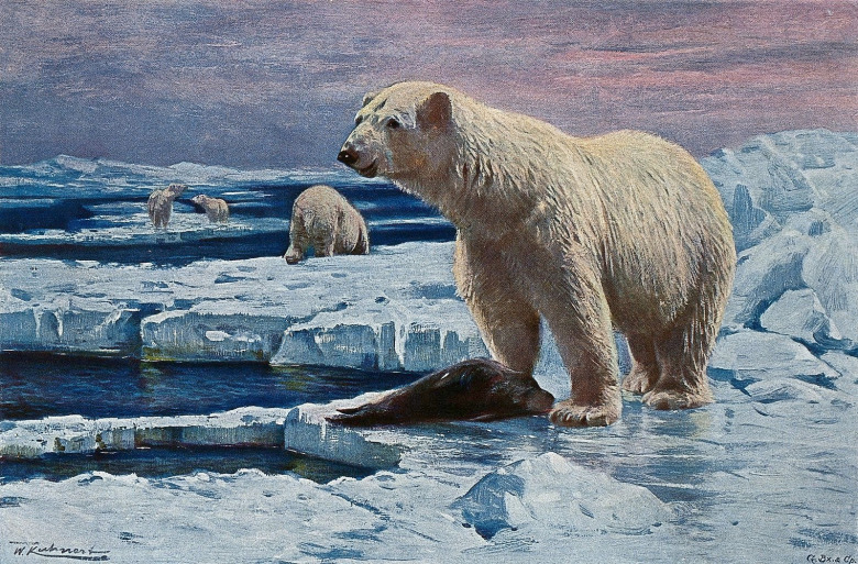 Sea ice, where seals rest and bask and where polar bears prey on them, has been important to the survival of both species. But with warming temperatures sea ice is winnowing and the Inuit in northern Canada are literally watching the world they know melting away with climate change. Painting by the great Wilhelm Kuhnert
