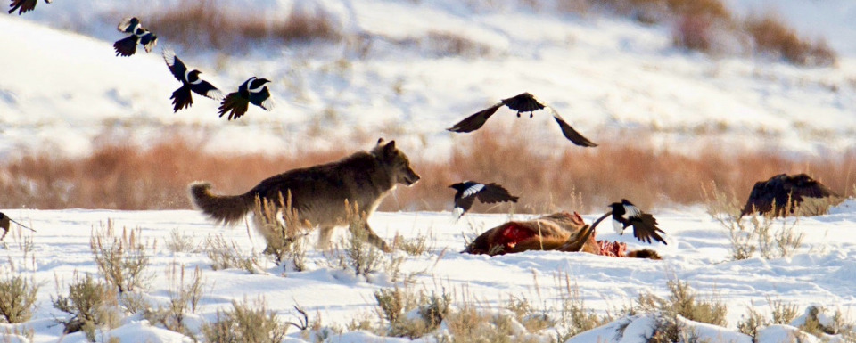 A wolf and magpies feast on a carcass