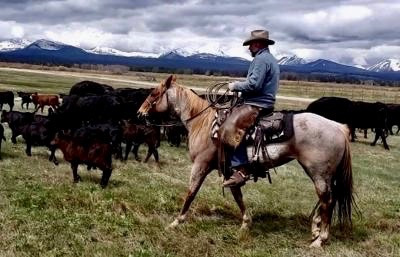 Big Hole rancher Dean Peterson rides with his cows and calfs.