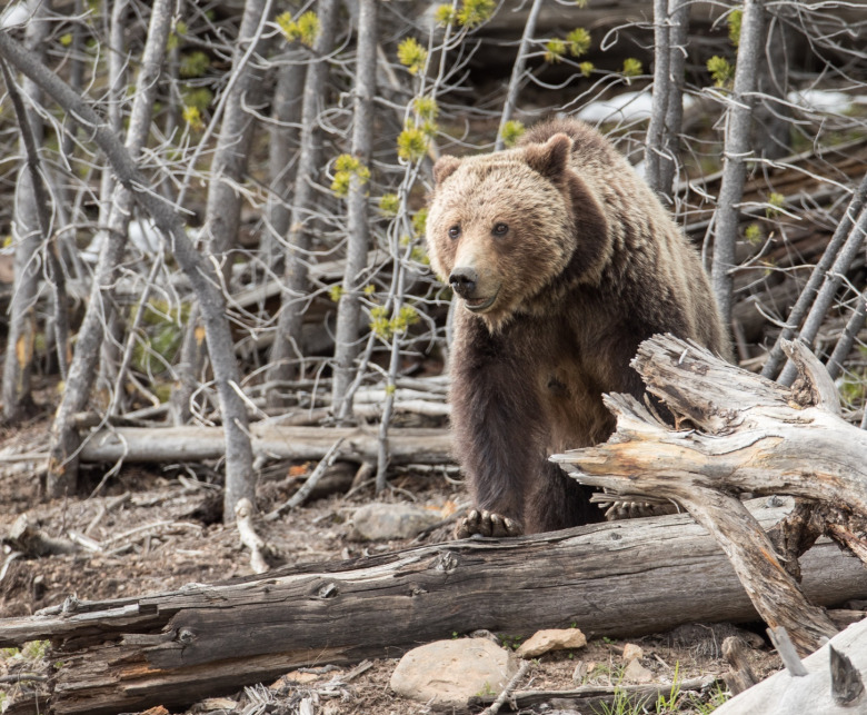 A grizzly wanders in the forest in Yellowstone. This is not the bear believed involved in the incident with the hiker. Photo courtesy Jim Peaco/NPS