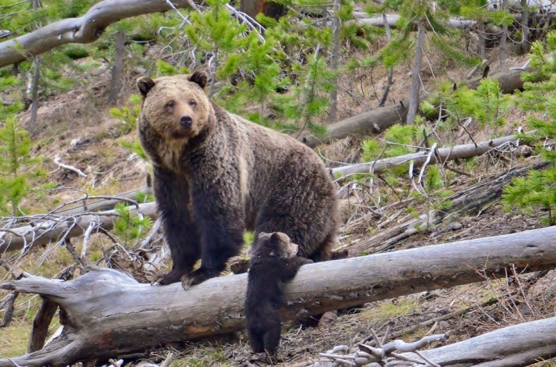 A grizzly mother with cub in the Greater Yellowstone Ecosystem. Photo courtesy Frank van Manen/USGS