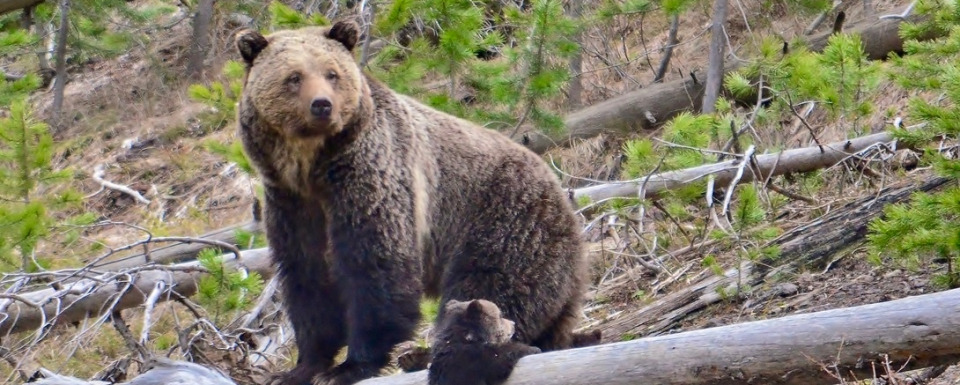 Grizzly mother with cub