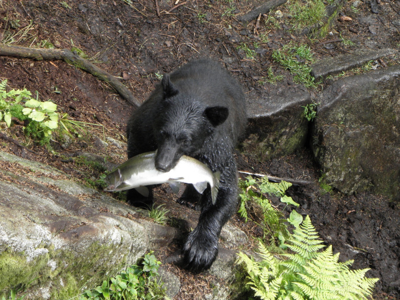 A black bear with a fresh catch of salmon on the Tongass National Forest in Alaska. In some parts of the state, it is legal to kill black bear sows with cubs inside their dens based on the claim it will help bolster big game herds. How does this square with the fair chase principles of hunting found in the North American Model of Wildlife Management?  Photo courtesy Wendy Zirngibl/USFS