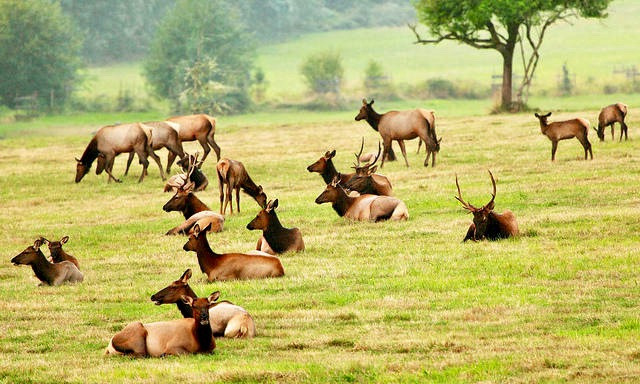 The mantra among some Westerners is the more elk the better. But ranchers in Paradise Valley, dealing with brucellosis-carrying wapiti,  say proliferating numbers of the animals congregating in their pastures threatens their survival.  Photo courtesy Flickr user Ian Sane CC-BY-2.0