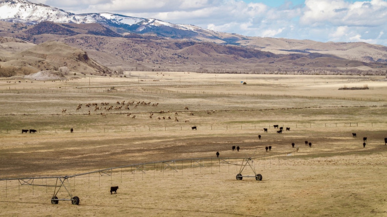 Top: Elk finding nourishment in a cattle pasture. Above: Wild migrating elk and domestic cattle graze together on a private ranch in Paradise Valley. Photos courtesy Implement Productions