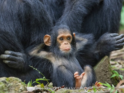 Mangelsen's portrait of Gombe the young chimp