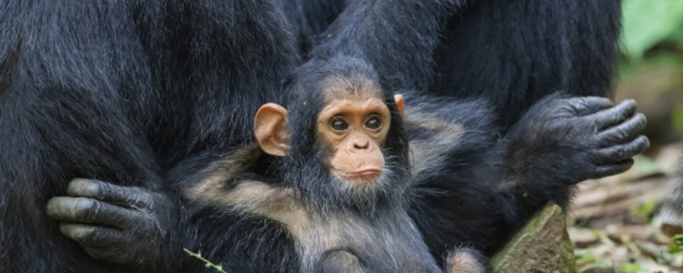 """Gombe,"" grandson of a famous chimp Goodall studied"