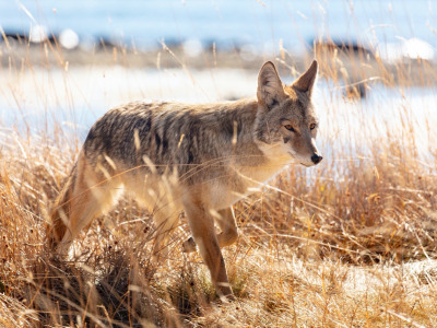 Coyote derbies award prizes to those who shoot the most