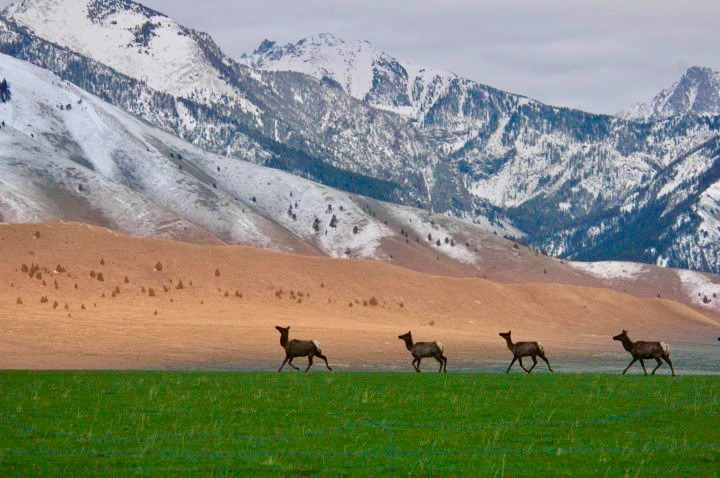 A small band of elk, among several thousand, crosses private ranches in the Madison Valley of southwest Montana where they winter.  Providing habitat for public wildlife is one of several tangible ways ranchers give back and promote wildlife conservation. Ask yourself: how do outdoor recreationists help promote wildlife protection?  How does our presence in landscapes important to rare wildlife improve the prospects of wildlife conservation for those species? Or, maybe, it doesn't? Photo courtesy Roger Lang
