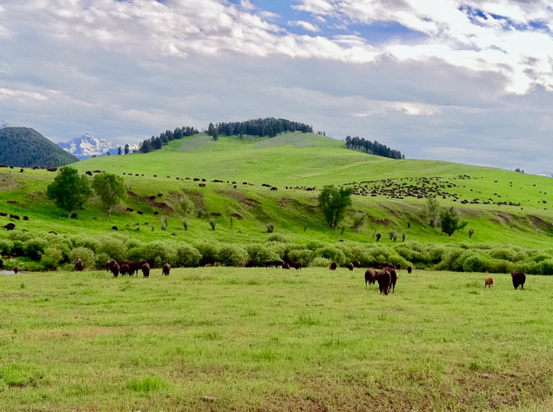 Some of the 5,000 bison that roam across Ted Turner's Flying D Ranch. Photo by Todd Wilkinson