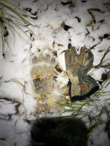 Bow hunter Dash Rodman took this photo of a  bear paw print after he saw the bruin wander near his perch in a tree.