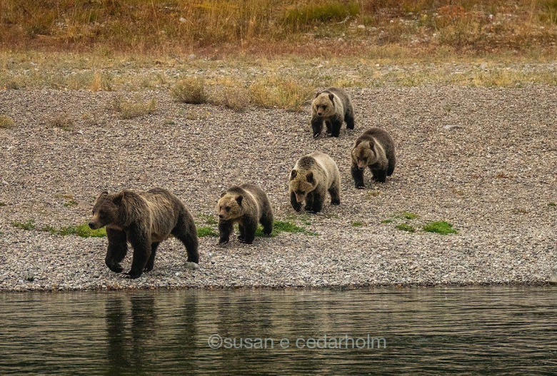 Tiny when they emerged from the den this spring, 399's four cubs have grown up fast. Keeping all of them well fed and healthy while navigating mine fields of dangers is no easy task. Many believe 399's uncharacteristic walkabout to the suburbs of Jackson Hole might be caused by her quest to find food prior to hibernation.  Photo courtesy Sue Ewald Cedarholm who took this photograph of the five bears near the Snake River. To see more of Cedarholm's images go to suecedarholm.com