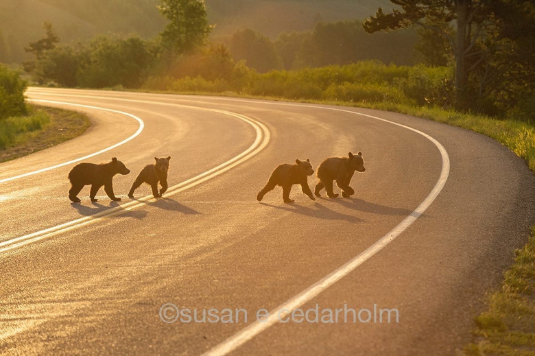 Never has a family of bears inspired more people and attracted a more devoted coterie of  wildlife watchers in Jackson Hole than the clan of grizzly 399. Here,  this past summer, the quartet of cubs crosses the busy highway in Grand Teton National Park.  Photo courtesy Sue Cedarholm