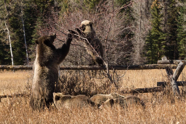 Ironic, maybe, is that while Mangelsen was out looking for grizzly 399 east of Jackson Lake last week, she showed up barely a stone's throw from his house in the Meadow subdivision.  They dined ravenously on hawthorn berries with the cubs using a buck and rail fence as a perch for reaching the food as 399 pulled the branches down with her paws. Photo courtesy Thomas D. Mangelsen (mangelsen.com)