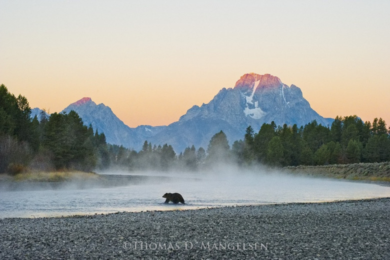 Grizzly 399 crossing the Snake River. Is a bear-watching excursion with American nature photograph Tom Mangelsen in your future?  Photo courtesy Thomas D. Mangelsen (mangelsen.com)