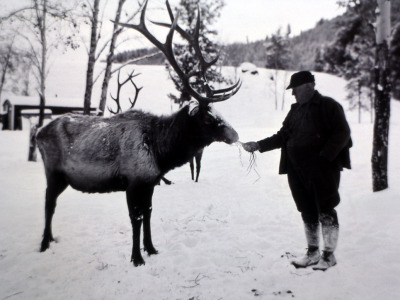 Yellowstone elk fed by hand