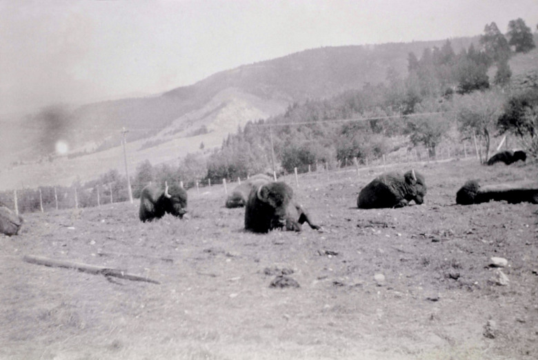 "Top: Black bears, deliberately fed and habituated to human food, provide entertainment for park visitors at West Thumb Camp in 1924. Photo just above: Bison in the ""Mammoth Showpen"" in 1924 when wildlife, in order to insure visitors saw animals, were really managed as if in a glorified zoo.  Photographer unknown/courtesy NPS"