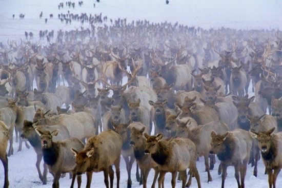 Thousands of elk congregate over artificial feed at the National Elk Refuge and 22 feedgrounds operated by the state of Wyoming every winter.  Imagine if this were young human spring break goers in the time of Covid. Would such a convergence be considered wise amid the threat of a contagious disease?  Epidemiologists say the same rules apply to wildlife when there's the looming menace of CWD and brucellosis. Photo courtesy Thomas Mangelsen (mangelsen.com)