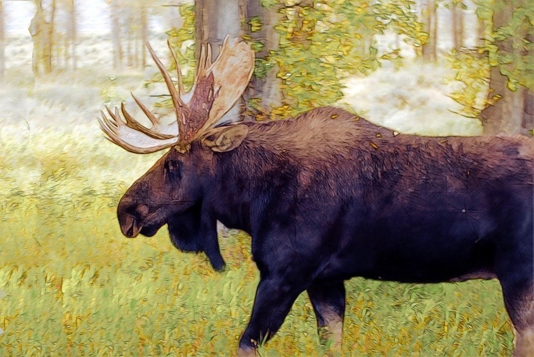 When wildlife and human pathways intersect, the first, best and most inexpensive remedy is for motorists to reduce their speeds. Photo of bull moose in Jackson Hole courtesy Mike Goad/Pixabay Free Use License