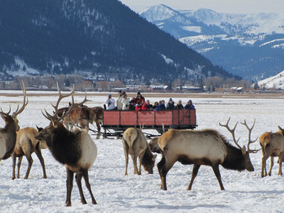 Wapiti at the National Elk Refuge in Jackson Hole