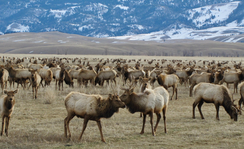 Elk that survived decimation in the Greater Yellowstone Ecosystem at the turn of the 20th century have been used as feedstock to rebuild elk herds across the West. The Jackson Hole Herd is among several famous herds in the region numbering more than 11,000 strong. On any given winter, 80 percent of those wapiti get artificial nourishment at the National Elk Refuge. Photo courtesy US Fish and Wildlife Service