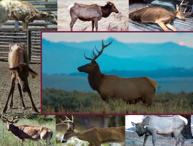 Not a pretty sight: Photos of elk and deer afflicted with CWD, which is always fatal.