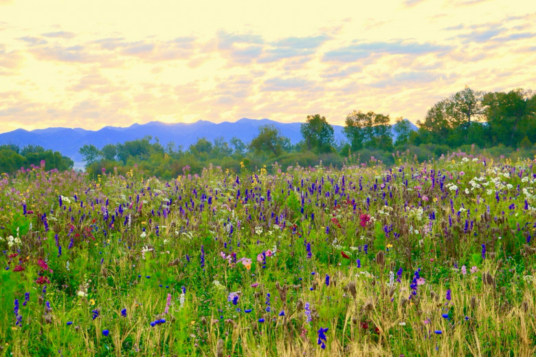"According to local lore, the Gallatin Valley was once known as ""the valley of flowers,"" owed to its profusion of wildflowers in warm weather seasons. The scene in this photo is a property near Manhattan, Montana where the landowners came together with the Gallatin Valley Land Trust and created a conservation easement, ensuring the natural landscape will never be covered with residential subdivision. The property owners also have initiated an inspiring wildflower restoration project (which benefits all kinds of wildlife, including pollinators).  Photo courtesy Gallatin Valley Land Trust"