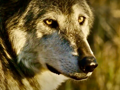 How much do you actually know about wolves?