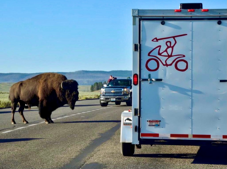For Yellowstone bison and other animals, merely crossing the road can be a hostile undertaking. Photo courtesy Steven Fuller