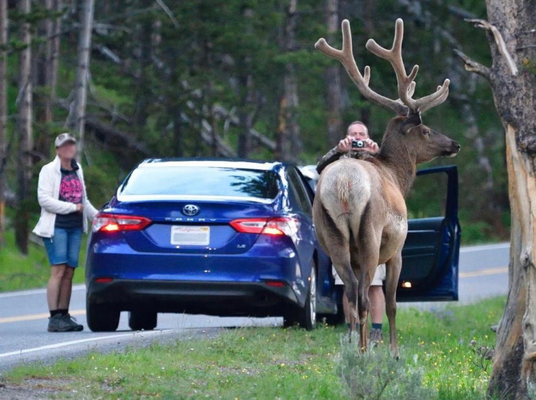 Not posing for the camera: For many tourists the meaning of animals being wild in Yellowstone isn't always well understood. Here a bull elk with antlers still in velvet assesses what his next move will be. Photo courtesy Steven Fuller