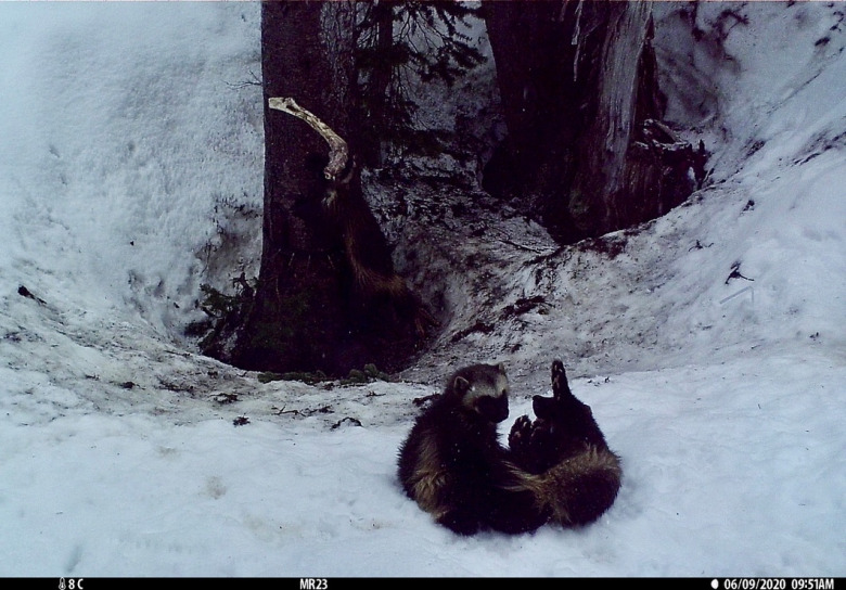 A mother wolverine and her kit play at the edge of a subalpine forest in the Pacific Northwest. Wolverines den, hunt and scavenge for carcasses in the snowpack on the sides of mountains. Perhaps 300 wolverines, or less, are left in all of the Lower 48. Climate change represents a major threat to habitat, but so, too, researchers say, is disturbance by recreationists in mountain environment. People displace wolverines from habitat they need to survive. Photo courtesy NPS/Cascades Carnivore Project