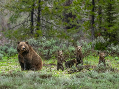 Grizzly 399 and four cubs in 2020