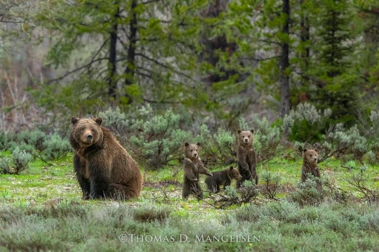 "Jackson Hole grizzly mother 399 and her four cubs in 2020. Reportedly the famous bruin has been among different animals attracted to feeding carried out by a Jackson Hole resident, which has caused an uproar.  The image, ""Among the Sage:  399 and Quadruplets"" provided courtesy of Mangelsen (see more photos of 399 and family at mangelsen.com_"