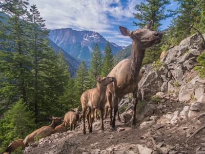 Migrating elk, one of Greater Yellowstone's wildlife wonders