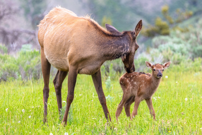 A mother elk and her calf, among thousands of adult wapiti that migrate into Yellowstone National Park from every direction in late spring and then give birth to young. Elk are vulnerable to disturbance, not only form development impacting habitat but studies show how recreation pressure on trails can displace elk from places where they want to be. That's why Wilderness areas, where typically there is less of a hubbub of human activity, are important places where elk can have habitat security. Photo courtesy Jacob W. Frank/NPS