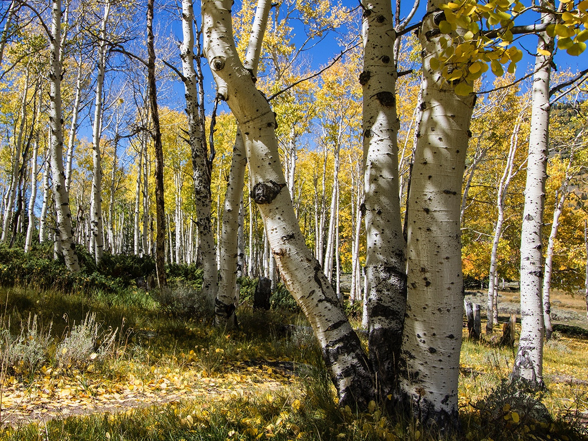 "Pando is an amazing paradox—a massive grove of quaking aspen expressed in a multitude of colorful trunks but all part of the same single tree and root system.  As author Paul Rogers writes: ""What you see here is a microcosm in aspen aesthetic and ecology—white, yellow, blue; pseudo-sibling trees joined as one:  a triple replications in DNA—lends dimension to Pando's autumn repose."" Photo by Lance Oditt"