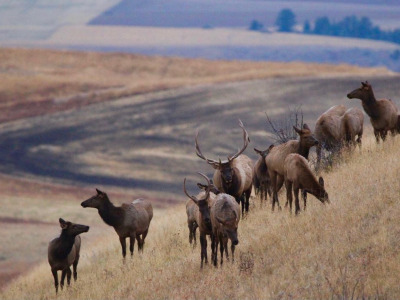 Will viable ag or elk disappear from Bozeman first?