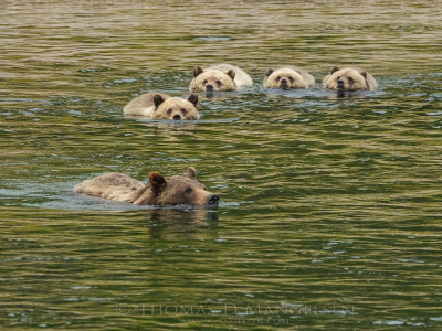 Grizzly Mother 399 and four cubs swim the Snake
