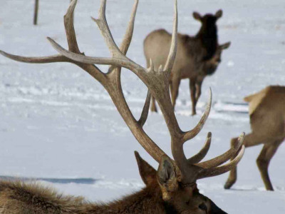 Every year bull elk shed their antlers