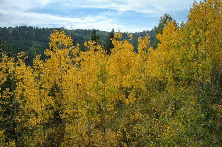 The glow of the aspens means we're closer to winter than summer, a metaphor that touches the emotions of many MoJo readers or their loved ones, especially in these uncertain times.  Photo courtesy of Susan Marsh